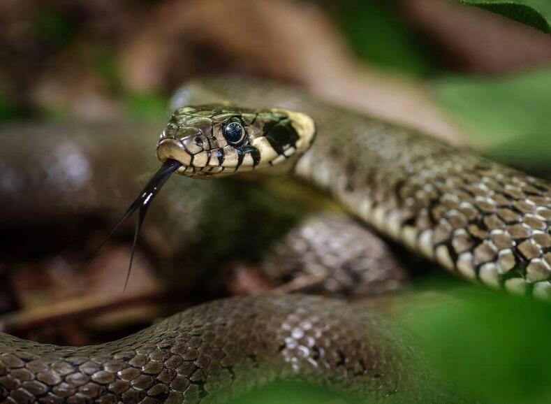 004-【生物】为什么蛇在爬行时不断吐舌头?