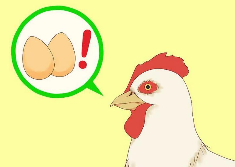 006-【生物】母鸡下蛋后为什么会鸣叫?